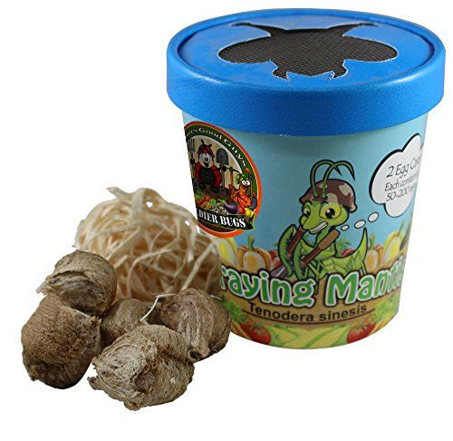 Praying Mantis Egg Case 5 Egg Cases 1500 Live Ladybugs You Can Get More Details By Clicking On The Image Live Ladybugs Praying Mantis Beneficial Insects