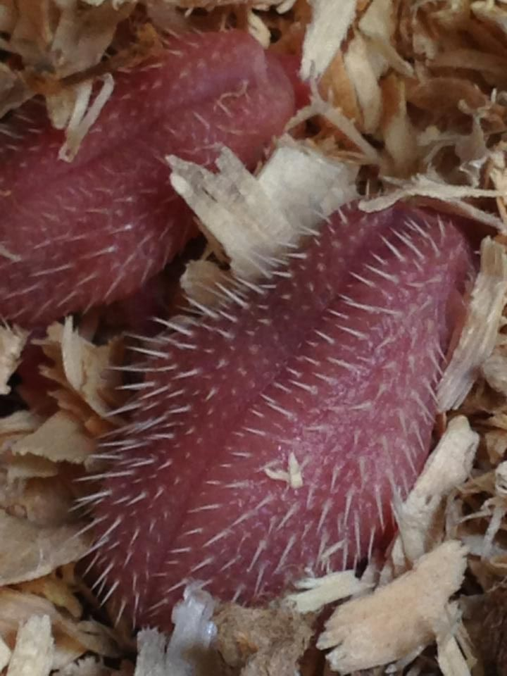 Squishy Cat Imgur : So newborn hedgehogs look like squishy, wet, spiky tongues. - Imgur Grotesquerie Pinterest ...