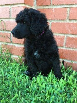Litter Of 5 Poodle Standard Puppies For Sale In Wichita Falls Tx Adn 35322 On Puppyfinder Com Gender Female Age Puppies For Sale Standard Poodle Puppies
