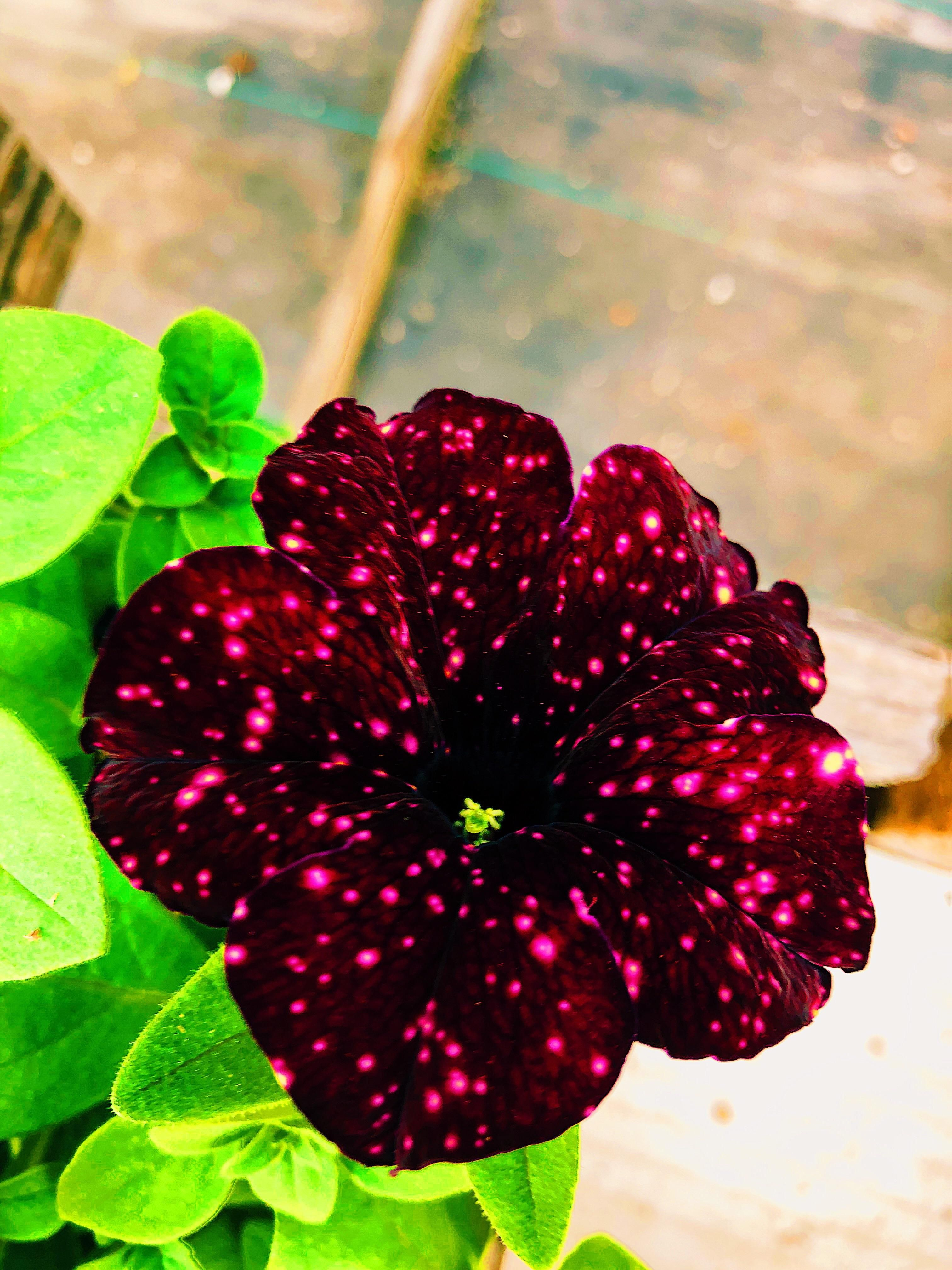 I Discovered The Eccentric Starry Sky Burgundy Petunia Today And I