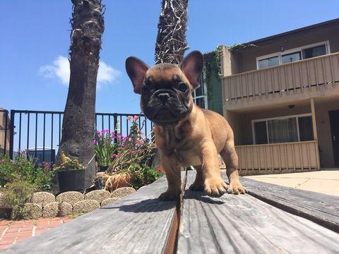French Bulldog Puppy For Sale In San Diego Ca Adn 31169 On