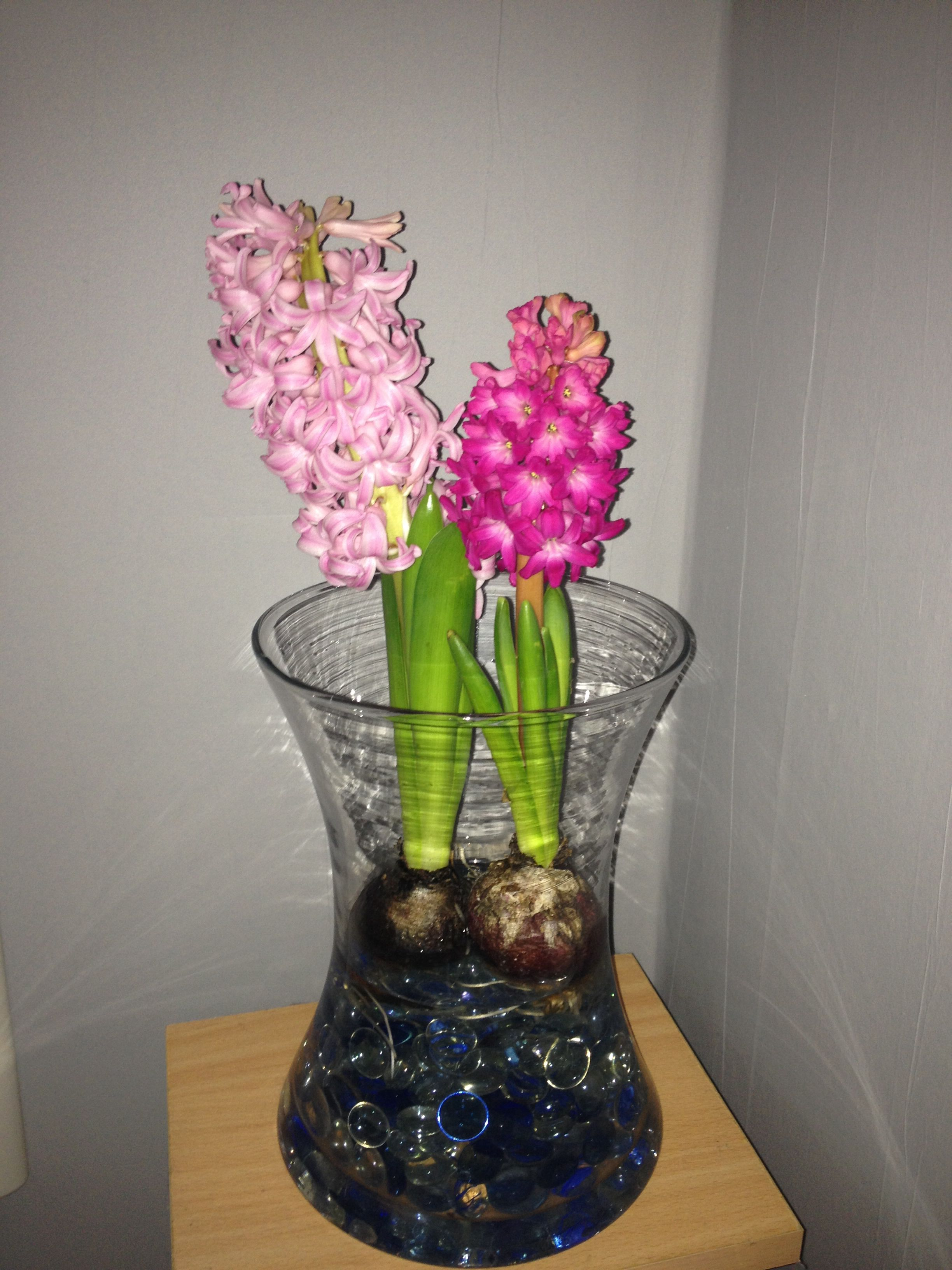 Hyacinth bulbs grown in a vase with glass beads and water hyacinth bulbs grown in a vase with glass beads and water brighten up the indoors reviewsmspy