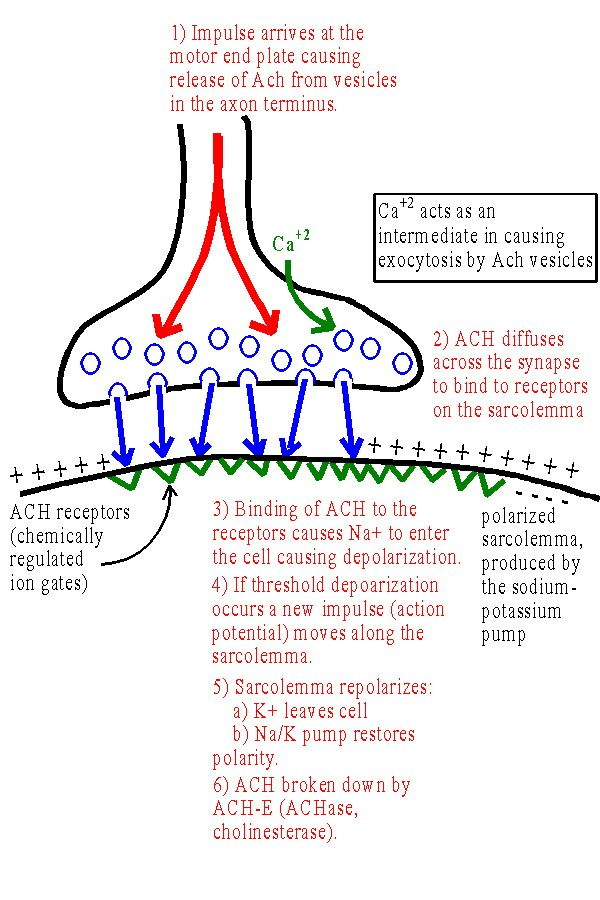 neuromuscular junction - Google Search | Physiology | Pinterest ...
