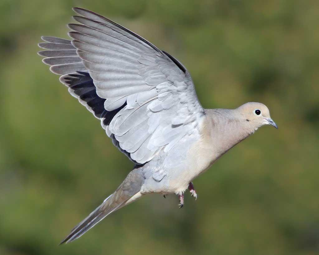 Mourning dove audubon field guide birds not chickens mourning dove audubon field guide buycottarizona