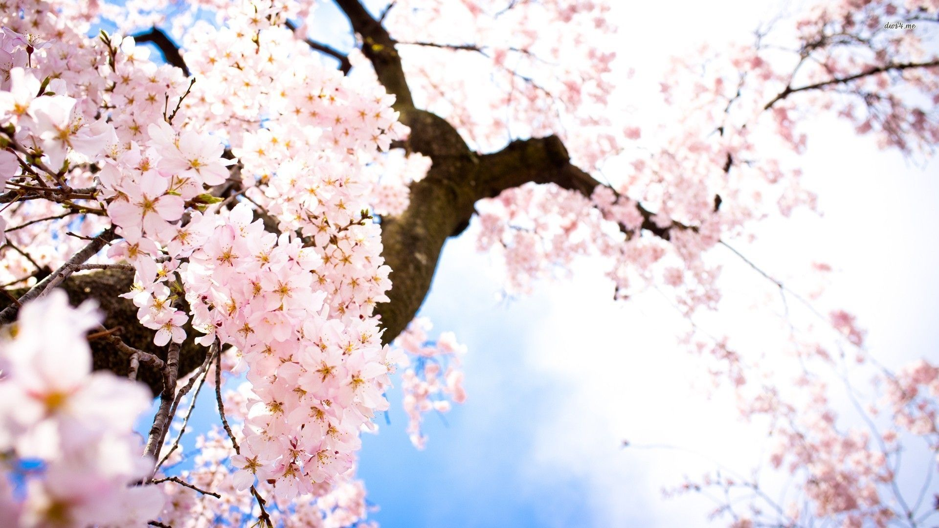 Cherry Blossoms Hd Wallpaper Cherry Blossom Wallpaper Anime Cherry Blossom Cherry Blossom Painting