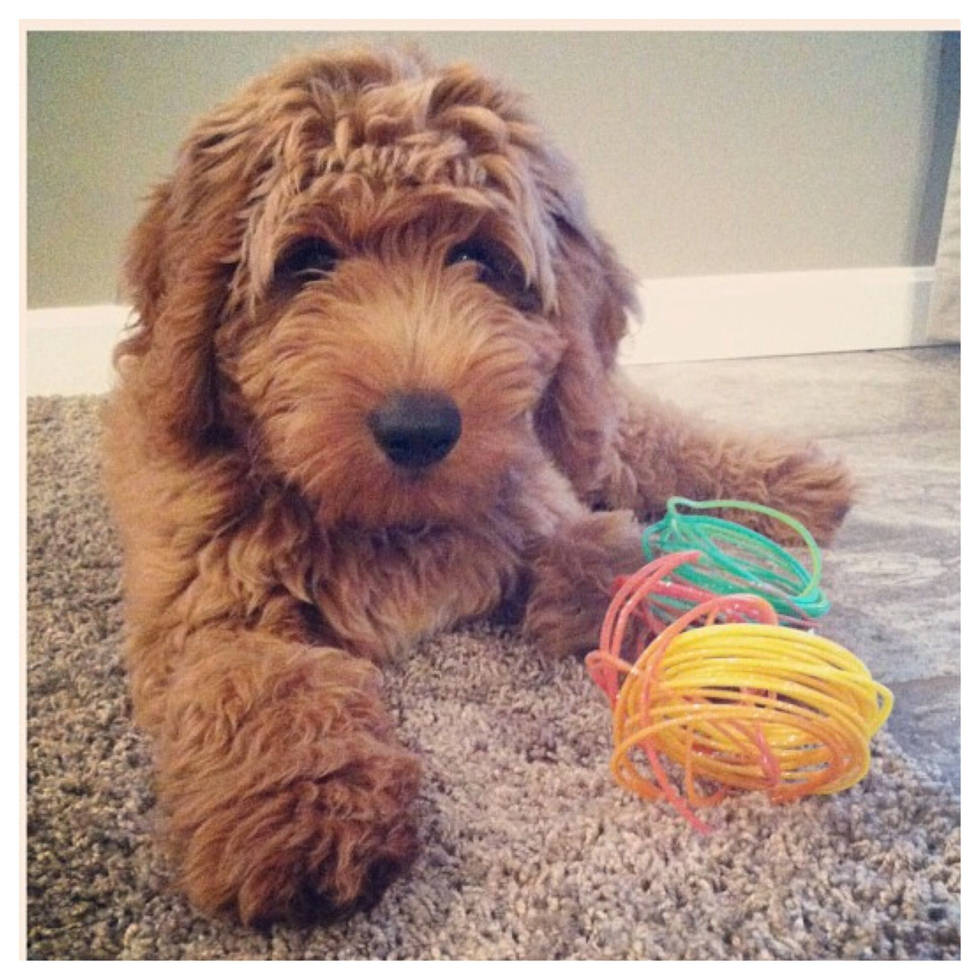 Mini Goldendoodle 4 Months Puppy Snuggles Puppies And Kitties