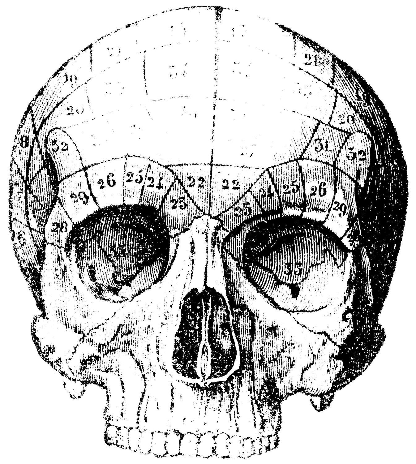 Textbook Skull Illustration