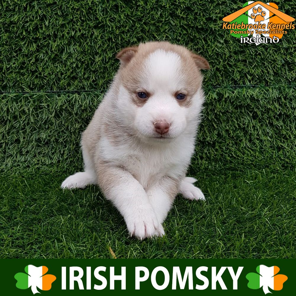Pomsky Puppy For Sale Pomsky Puppy Lewis Katiebrooke Kennels Pomsky Puppy Specialists Ireland Price Pomsky Puppies For Sale Pomsky Puppies Puppies For Sale