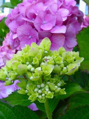 Hydrangea Buds Bloom Blossom Hydrangea Garden Very Beautiful Flowers