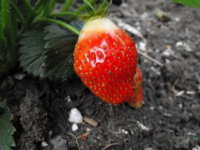 Crafty Little Gnome A Pest Free Strawberry Patch Strawberry Patch Fruit Garden Strawberry