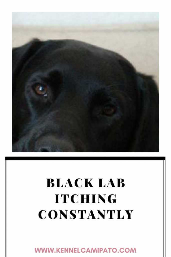 Black Lab Itching Constantly Dog Skin Care Dog Skin Coconut Oil For Dogs