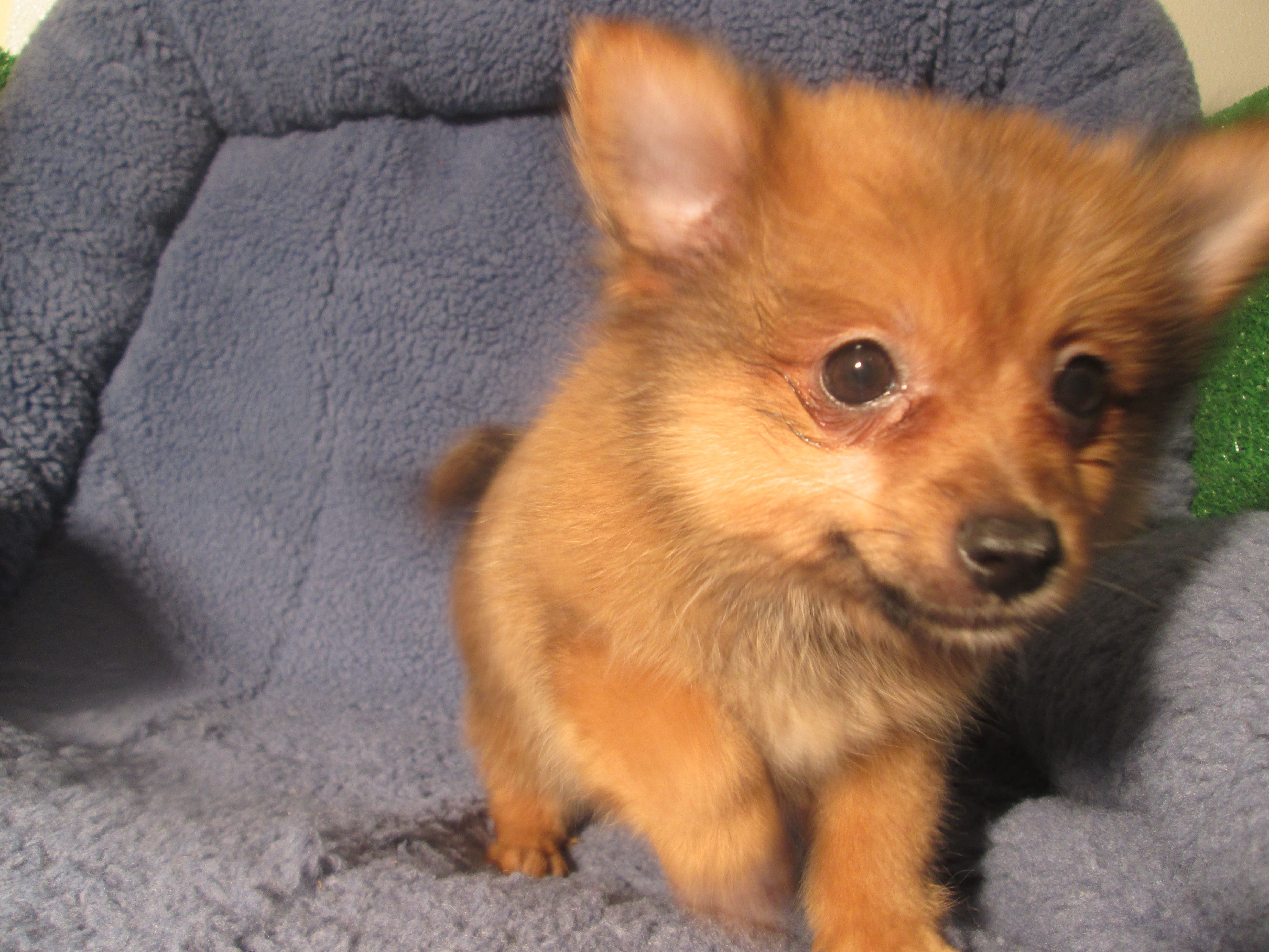 Precious Pomeranian Puppies Available 8 12 Weeks Of Age Permanent Shots And Wormings Completed Along With Microch Puppies Pomeranian Puppy Dog Training