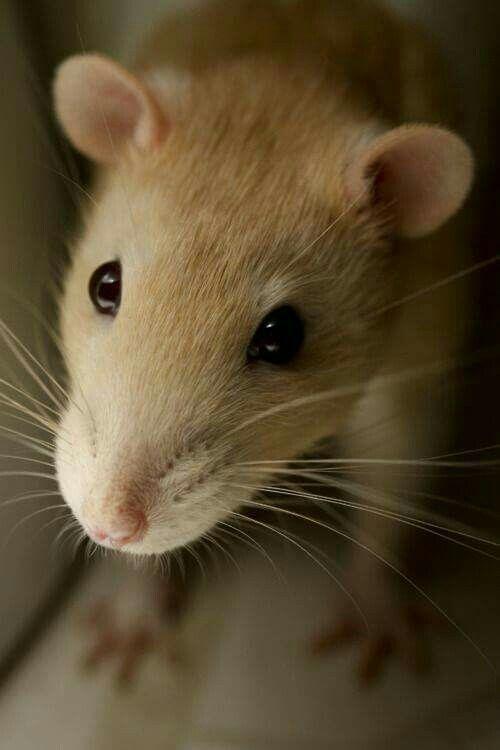 Pin By Hellen Rose On Inspirational Life Animals Cute Rats Pet Rats Rats