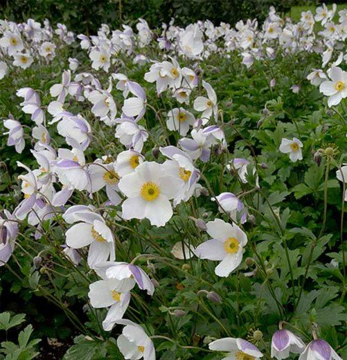 10 Facts About Anemones All Gardeners Should Know Anemone Flower Anemone Container Flowers