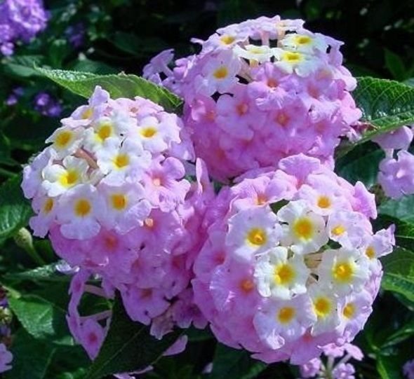 Daftar Nama Bunga Gambar Bunga Cantik Indah Unik Dan Langka Lengkap Dengan Penjelasannya Kumpulan Macam Macam Bunga Hias Terlen Bunga Menanam Kebun Bunga
