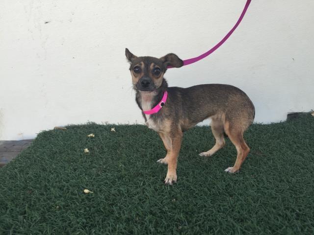Chihuahua Dog For Adoption In Visalia Ca Adn 646805 On
