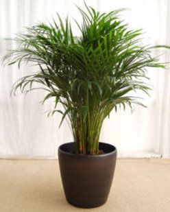 Las plantas de interior m s comunes son estas flores for Plantas ornamentales mas comunes