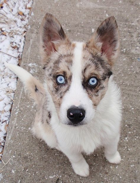 Husky Mini Aussie Mix Red Merle With Blue Eyes Australian