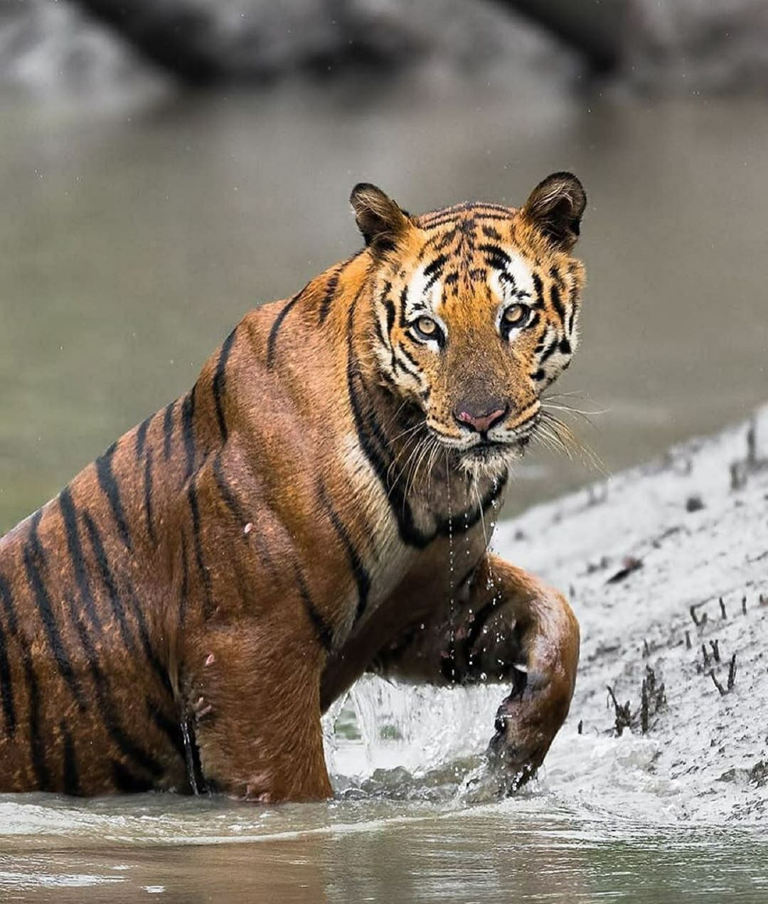 Earths Big Cats On Instagram Beautiful Tiger Going For A Swim How Would You Caption This Photo Follow Us For More Earthsbigcats Follow Us For Mor