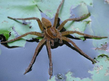Dolomedes Sp Fishing Spider Sp アニマル 蜘蛛