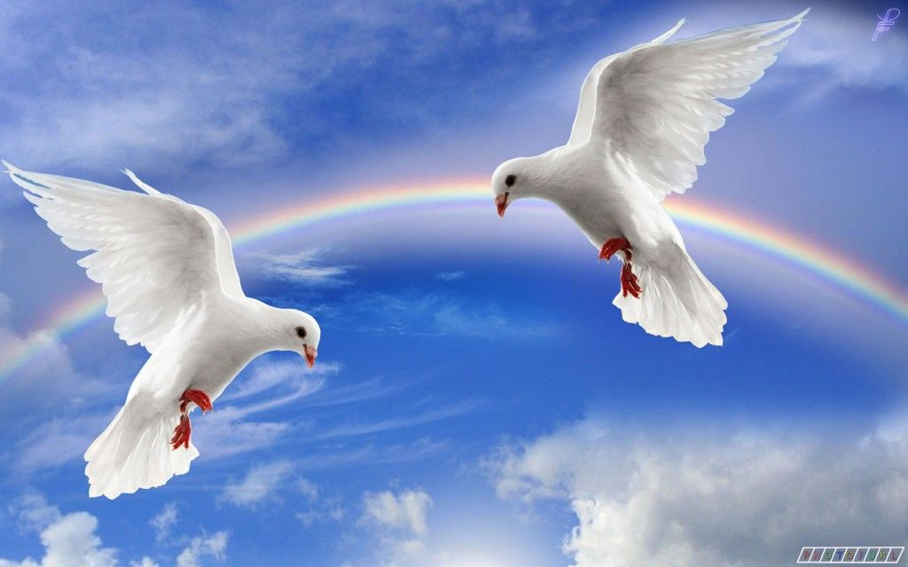 Love Dove Beautiful Wallpaper : Two Lovely White Pigeon Image For Desktop http://wallpapers.ae/two-lovely-white-pigeon-image ...