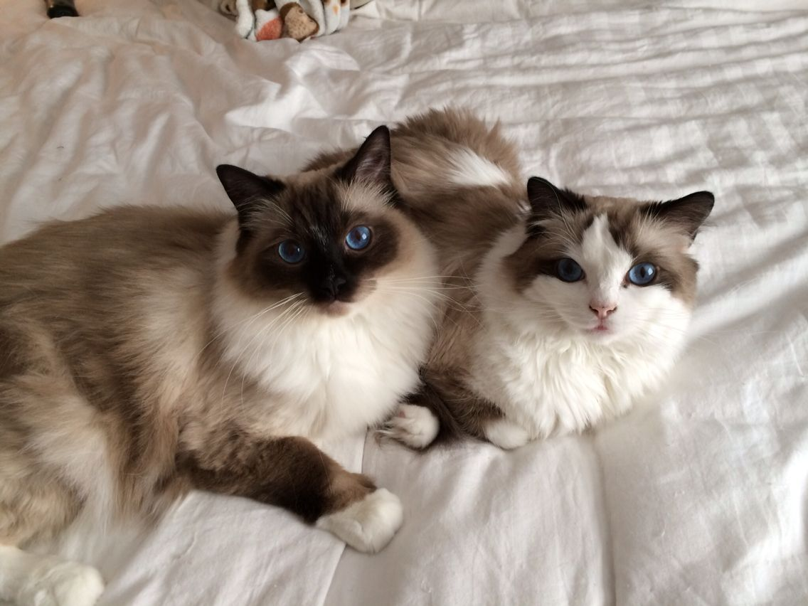 17 best images about bootsy bailey ragdoll cats 17 best images about bootsy bailey ragdoll cats the morning tvs and plays