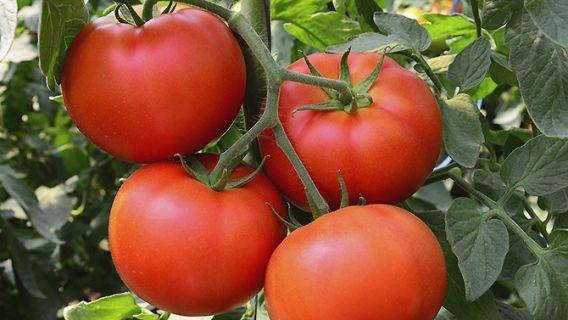 les 25 meilleures id es de la cat gorie comment planter les tomates sur pinterest cultiver des. Black Bedroom Furniture Sets. Home Design Ideas