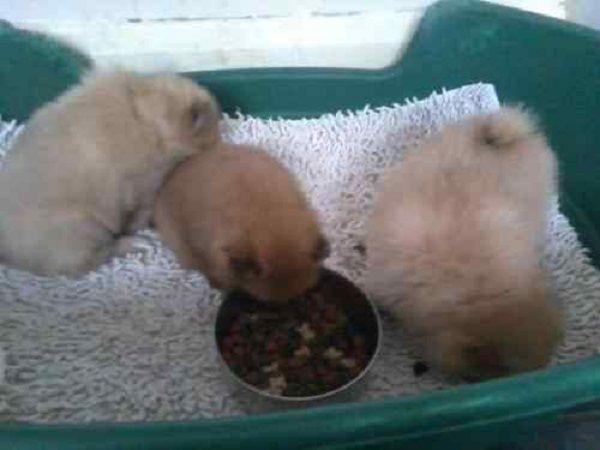 Teacup Pomeranian Puppies For Sale In Gauteng Zoe Fans Blog