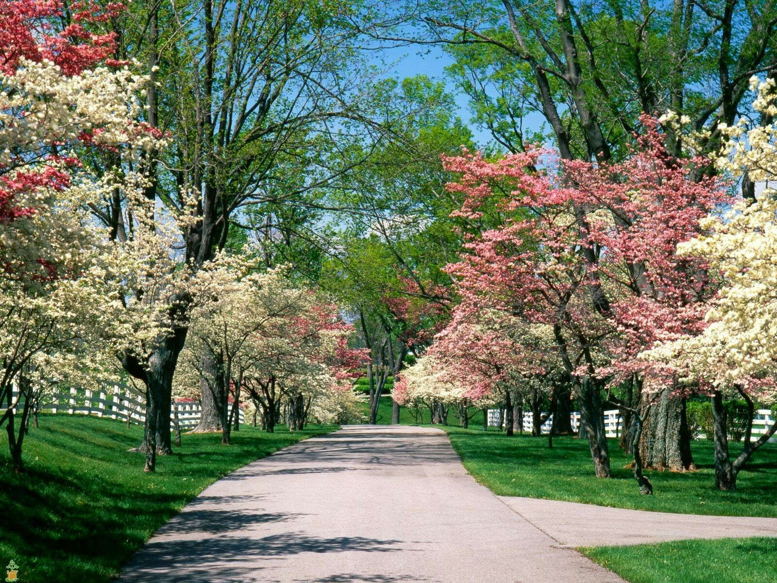 My ideal drive way; very beautiful and lined with dogwoods