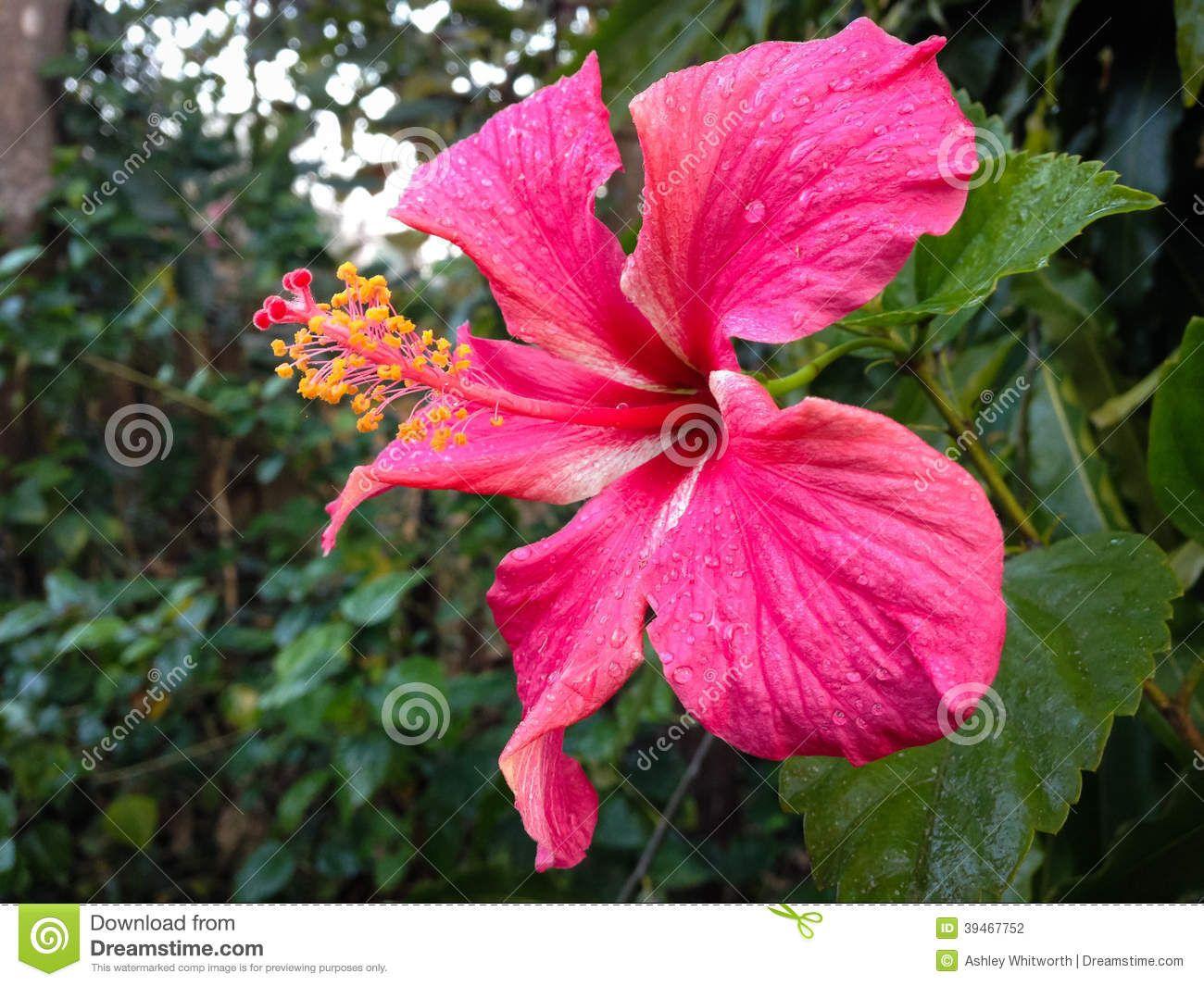 Photo About Hibiscus Flower In Lodge Garden Thakurdwara Bardia Nepal Image Of Nepal Vegetation Park 39467752 Hibiscus Hibiscus Flowers Flowers