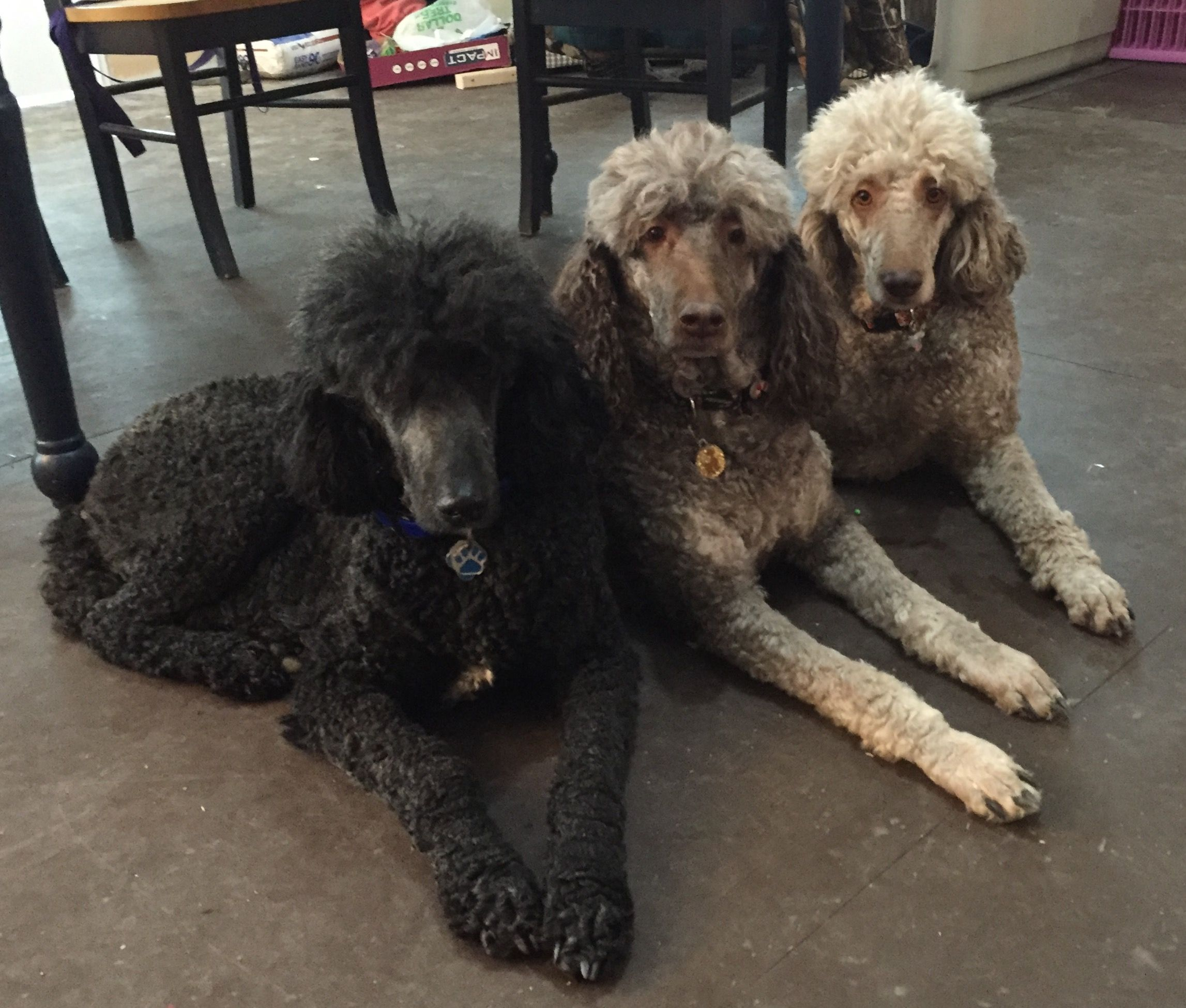 Mom Middle And Daughters Poodles Pinterest Poodle