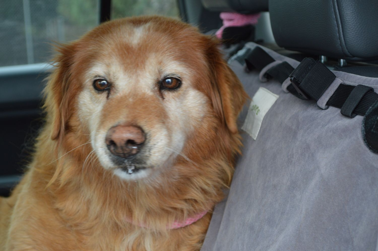 Candy15129 F 12 Yrs — Golden Retriever Rescue of