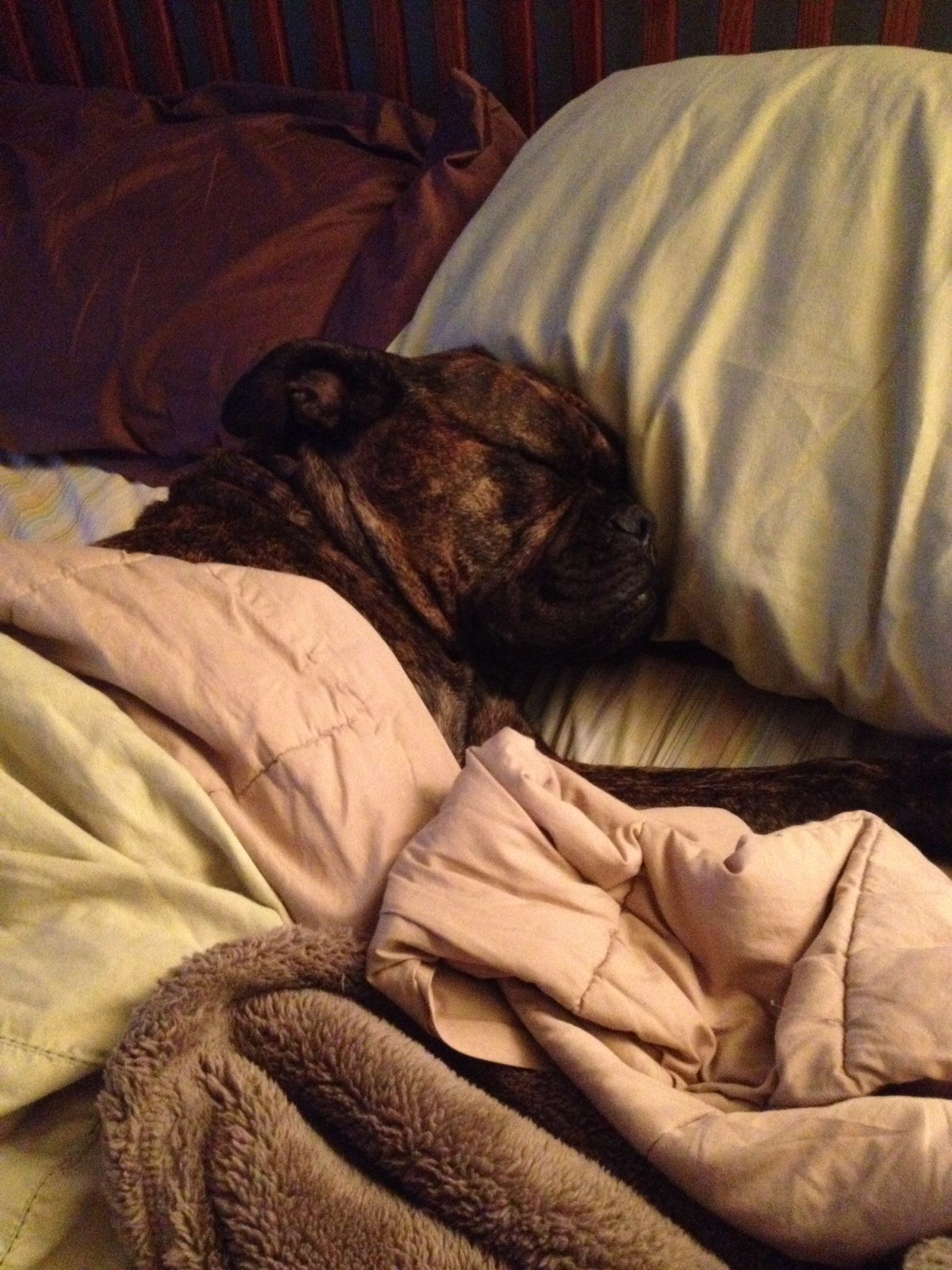 Won T Get Out Of Bed Valley Bulldog Valley Bulldog Bulldog Dogs