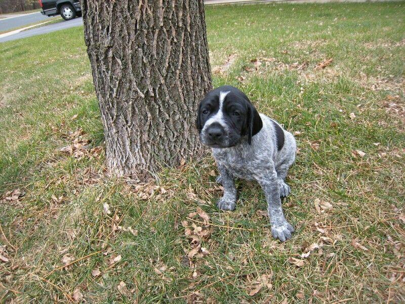 My boy Gunnar😍 German shorthaired pointer, Puppies, Dogs