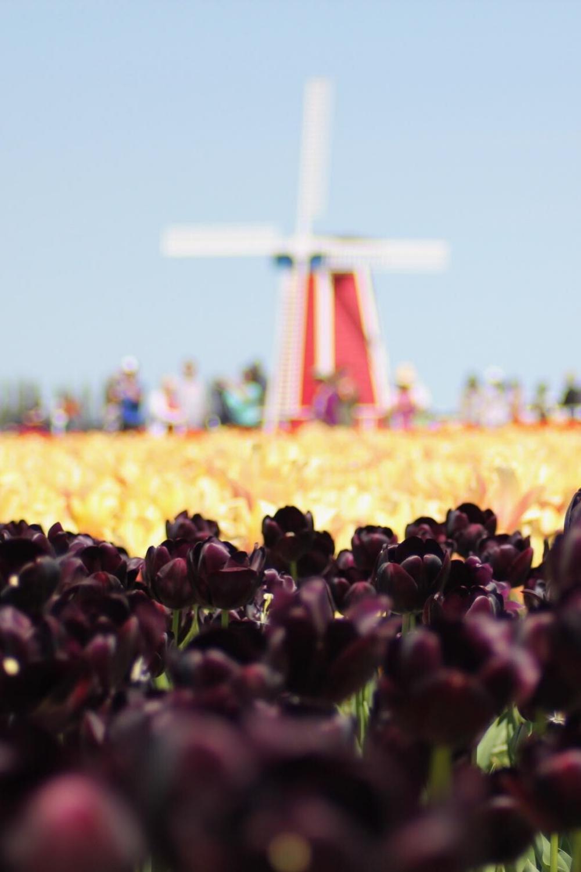 Flower & Tulip Festivals Near Portland Oregon in 2020
