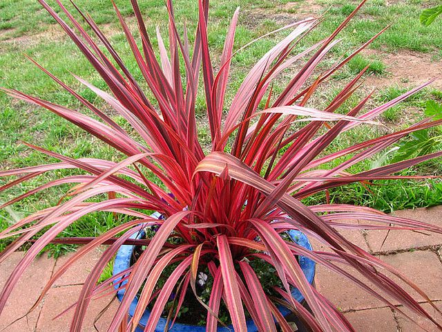 Cordyline Electric Pink Architectural Plants Plant Bugs Plant Nursery