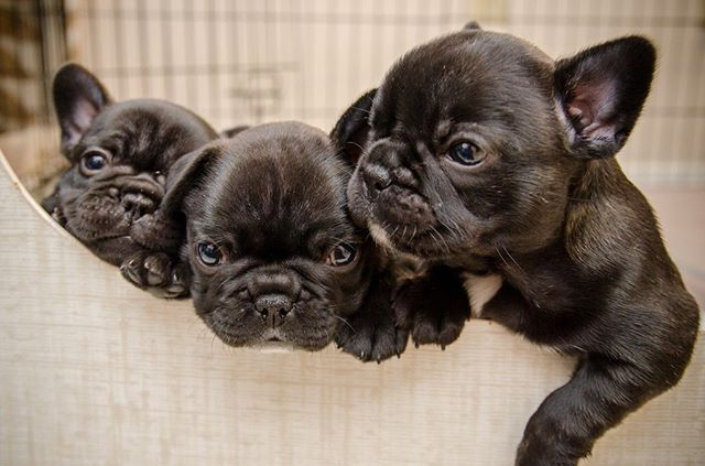 Pin By Bettina Sinz On Must Have French Bulldog Puppies Cute French Bulldog Bulldog