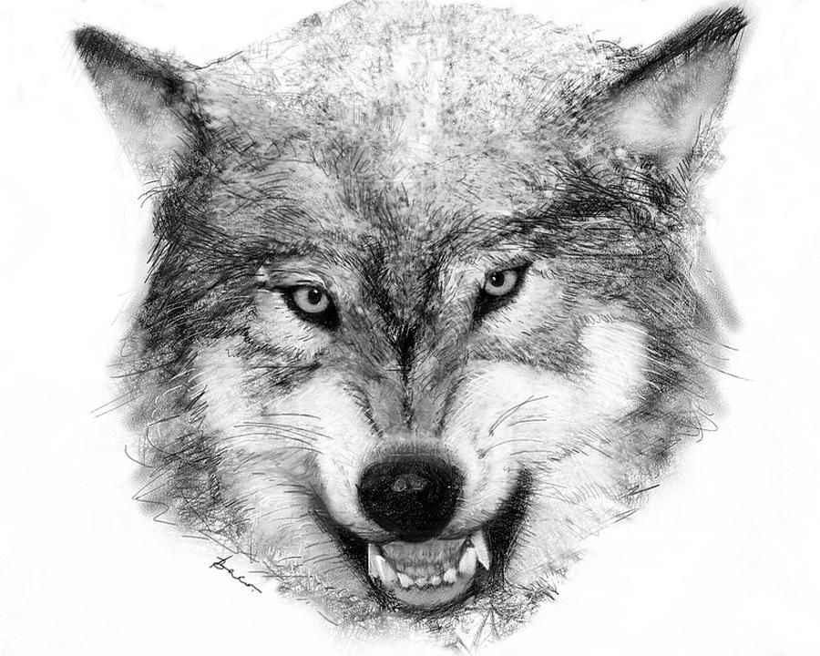 Home Gallery Drawings Wolf Feed From