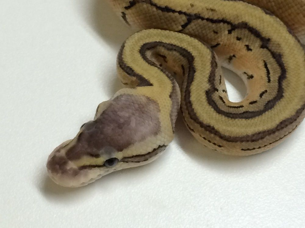 Baby Pastel Ball Python | animals | Ball python, Ball python