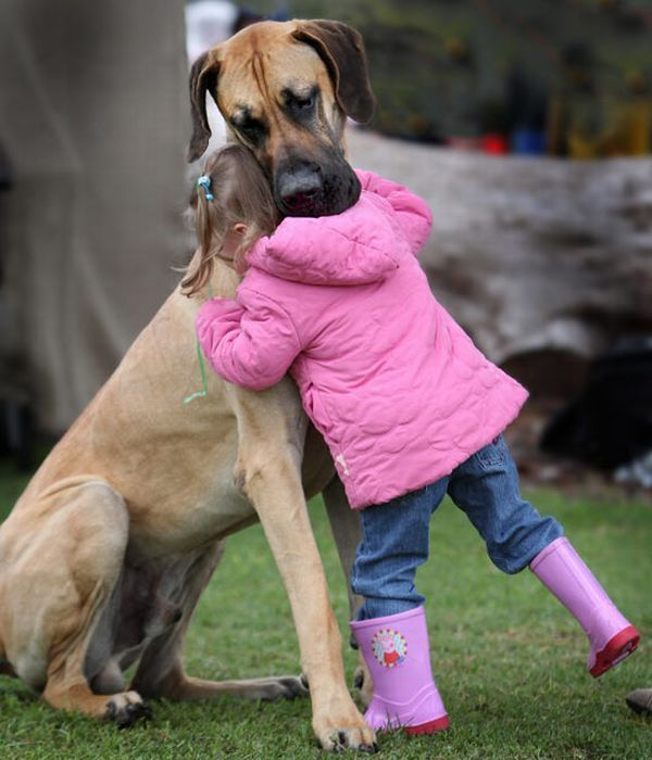 Dog Comforts Little Girl Dane Puppies Great Dane Puppy Dogs