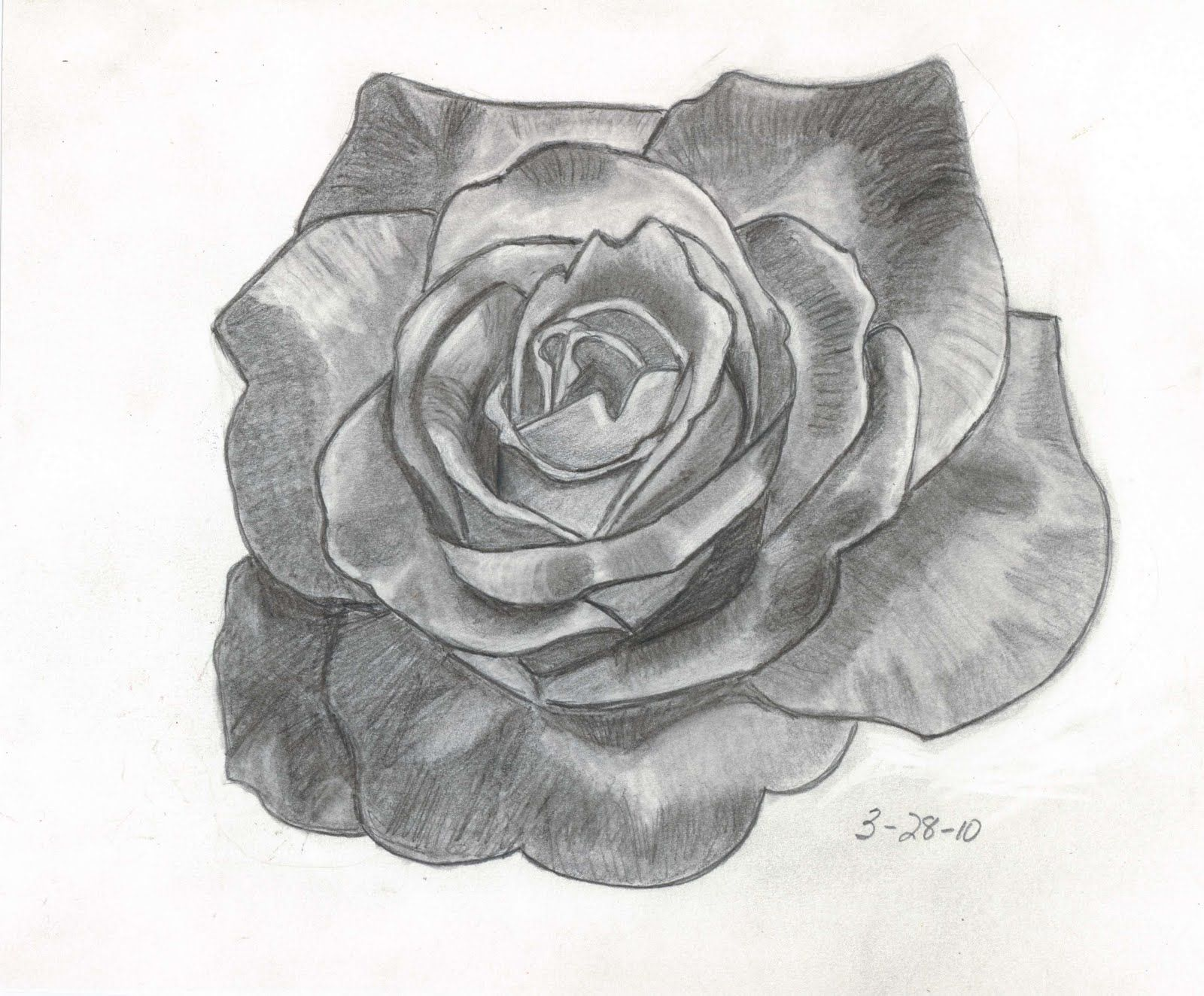 Rose Drawings | Sketches and Things: Variegated Rose ...