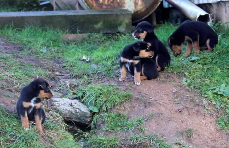 Pin By Lisa S Garage On Dogs Rottweiler Mix Rottweiler Mix Puppies Rottweiler