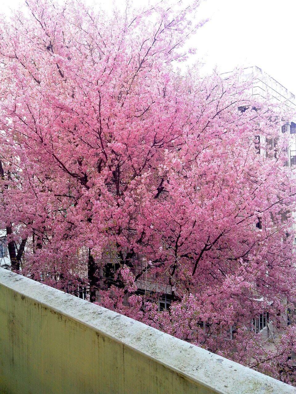 Shillong Indian Cherry Blossom Festival Held In November Cherry Blossom Festival Pink Aesthetic People Art
