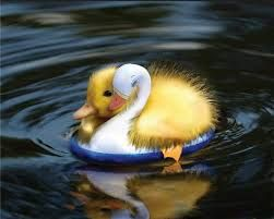 baby ducks - Google Search