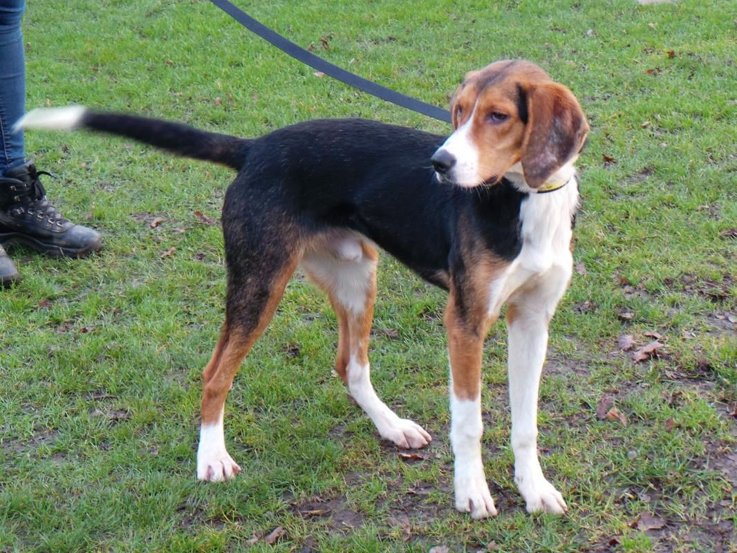 Adopt a dog buddy harrier dogs trust rehoming dog