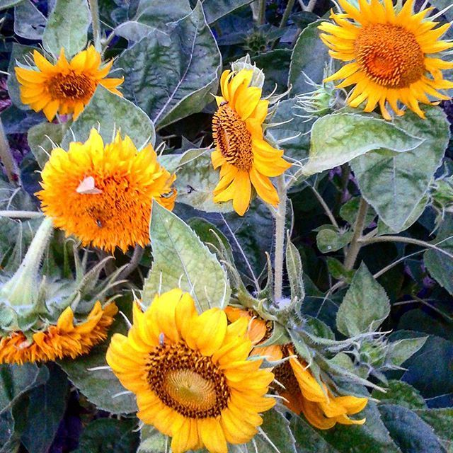 So Many Sunflowers In Our Garden It S A Real Joy To See