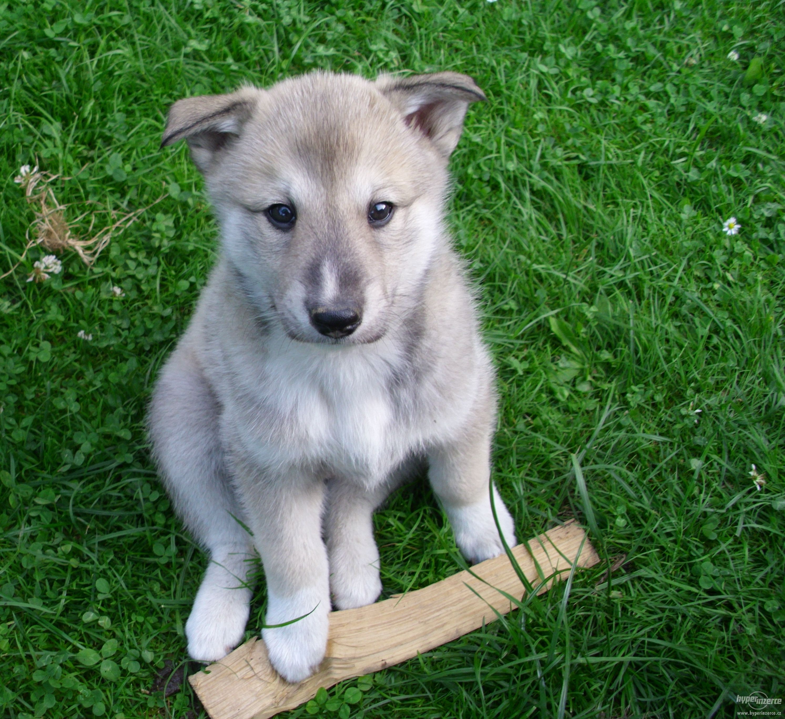 West Siberian Laika #Dogs | West Siberian Laika ...