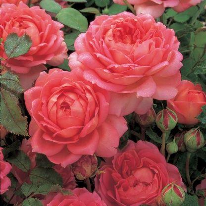 02 2016 jubilee celebration rosier david austin les rosiers du jardin pinterest rosier. Black Bedroom Furniture Sets. Home Design Ideas