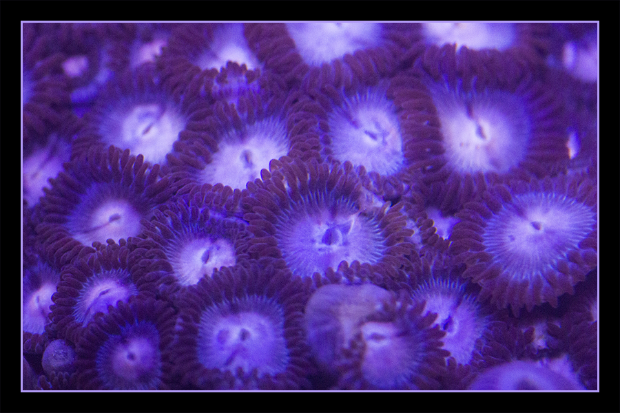Icey Hot Zoanthids Softcoral Mushroom Coralreef Coral Rarecoral