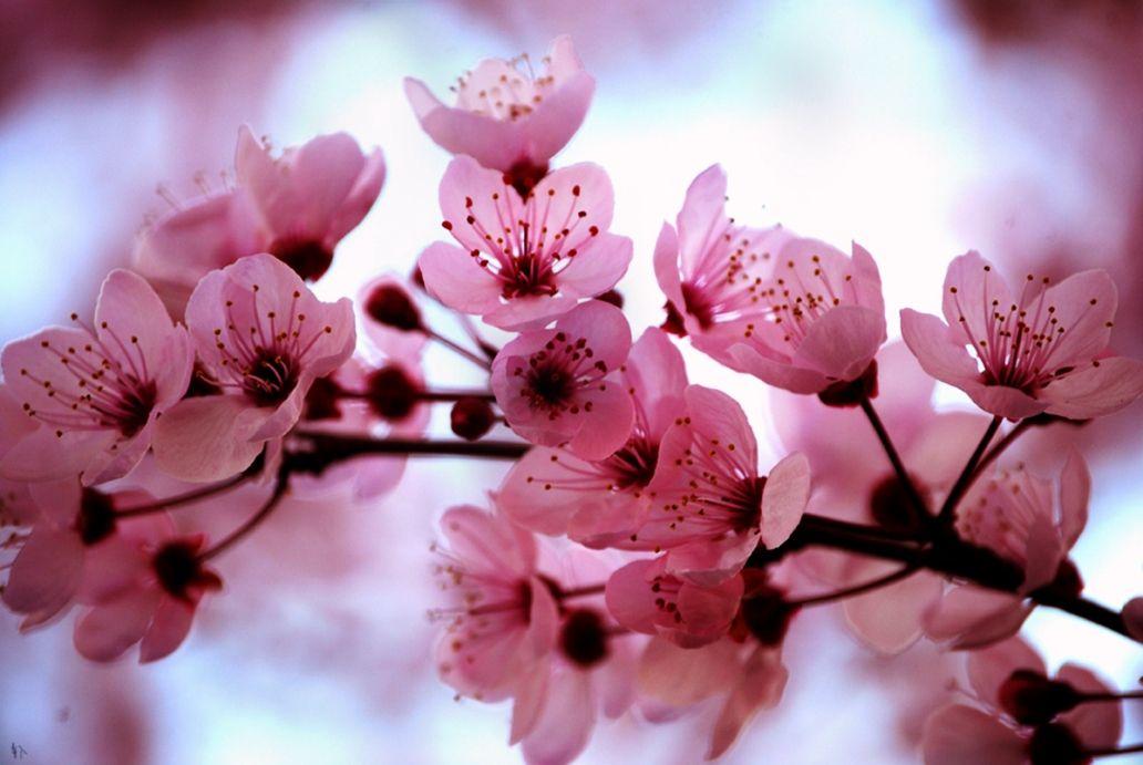 Gambar Bunga Sakura Yang Indah